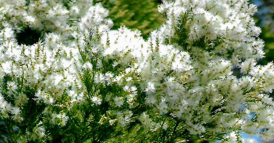 Óleo Essencial de Tea Tree (Melaleuca): a volta ao estado natural da saúde
